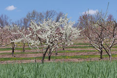 Apple Orchard in Spring. Apple tree orchard with pink and white blossoms in early spring with a sea of green grass in the foreground Royalty Free Stock Photo