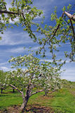 Apple orchard in Spring. Trees in apple orchard in Spring, Berkshires Massachusetts Royalty Free Stock Image
