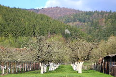 Apple orchard in spring. A view with an apple orchard garden in spring and some mountains in the backgraound Royalty Free Stock Photography