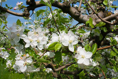 Apple Orchard in Spring. White flowers Royalty Free Stock Photo