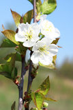 Apple orchard, springtime Royalty Free Stock Images