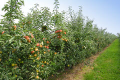 Apple orchard in summer Royalty Free Stock Photo