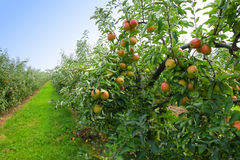 Apple orchard in summer Stock Photos
