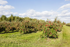 An apple orchard Royalty Free Stock Photos
