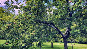 Apple orchard at sunny summer day stock video