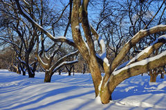Apple orchard on a sunny winter day Royalty Free Stock Images