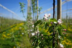 Apple Orchard, Switzerland. Apple Orchard in Bloom in Spring, Switzerland Royalty Free Stock Image