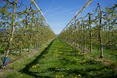 Apple Orchard, Switzerland Royalty Free Stock Photo