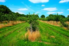 Apple orchard, three lines of young apple trees with with small Royalty Free Stock Photo