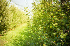 Apple orchard. Apple tree in an orchard royalty free stock photo
