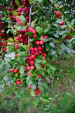 Apple orchard. An apple tree with red , sweet and pomaceous fruits hanging on stock photography