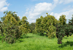 Apple orchard trees green wild fruit pear Stock Images