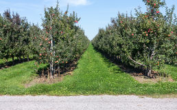 Apple Orchard Stock Photography