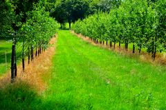 Apple orchard, two lines of young apple trees with green grass Stock Photos