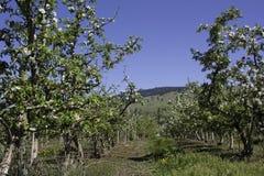 Apple Orchard. Winfield AKA LAKE COUNTRY bc okanagan valley rows Royalty Free Stock Photo