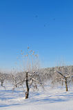 Apple orchard in winter Stock Image