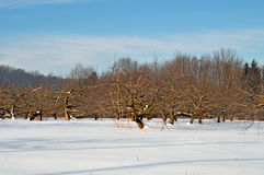 Apple orchard in winter. Image of an apple orchard in the snow royalty free stock photography