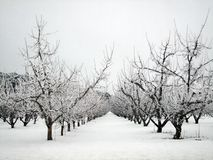 Apple orchard in winter. Apple orchard trees in winter covered in hoarfrost Royalty Free Stock Image