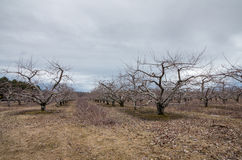 Apple Orchard in the  winter Stock Photography