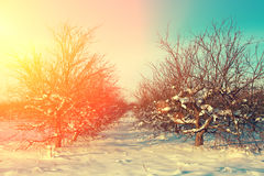 Apple orchard in winter Royalty Free Stock Photos