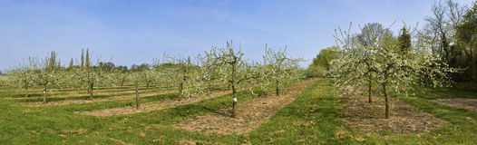 Apple orchards. Blossom apple orchards vale of evesham worcestershire Stock Photo