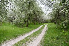 Apple Orchards in Blossom. Way through the Aplle Garden in Blossom Royalty Free Stock Image