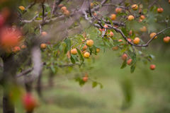 Apple orchards in the fall Royalty Free Stock Photos