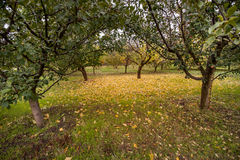 Apple orchards in the fall Royalty Free Stock Images