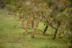 Apple orchards in the fall Royalty Free Stock Photography