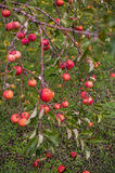 Apple orchards in the fall Stock Image