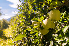 Apple Orchards Royalty Free Stock Photos