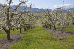 Apple orchards in Hood River Oregon. Field of apple trees bloom in Hood River Oregon stock photos