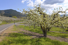 Apple orchards in Hood River Oregon. Field of apple trees bloom in Hood River Oregon royalty free stock photography