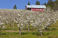 Apple orchards in Hood River Oregon. Field of apple trees bloom and barn in Hood River Oregon stock photo