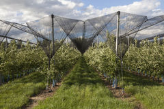 Apple orchards lendscape Stock Photo