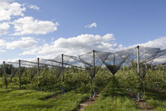 Apple orchards lendscape Stock Photography