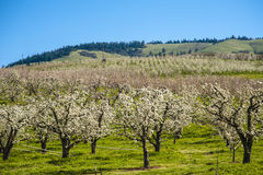 Apple orchards in spring Stock Image