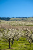 Apple orchards in spring Stock Images