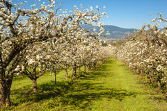 Apple orchards in spring Royalty Free Stock Photos