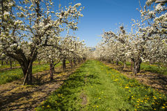 Apple orchards in spring Royalty Free Stock Image