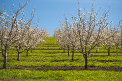 Apple orchards in spring Royalty Free Stock Photography