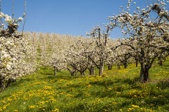Apple orchards in spring Royalty Free Stock Images