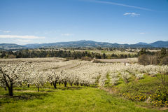 Apple orchards in spring Royalty Free Stock Photo