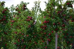 Apple Orchards Wayne County New York Stock Photos