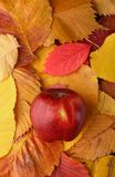 Apple over autumn leaves Stock Photography
