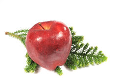 Apple over pine tree branch Royalty Free Stock Image