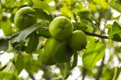 Apple på äppleträd i trädgården arkivfoton