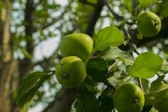 Apple på äppleträd i trädgården arkivbild