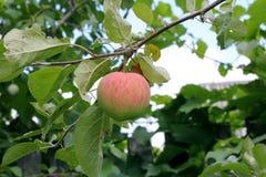 Apple på en äppleträdfilial Royaltyfri Fotografi