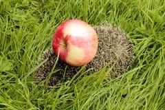 Apple på en igelkott Royaltyfri Fotografi